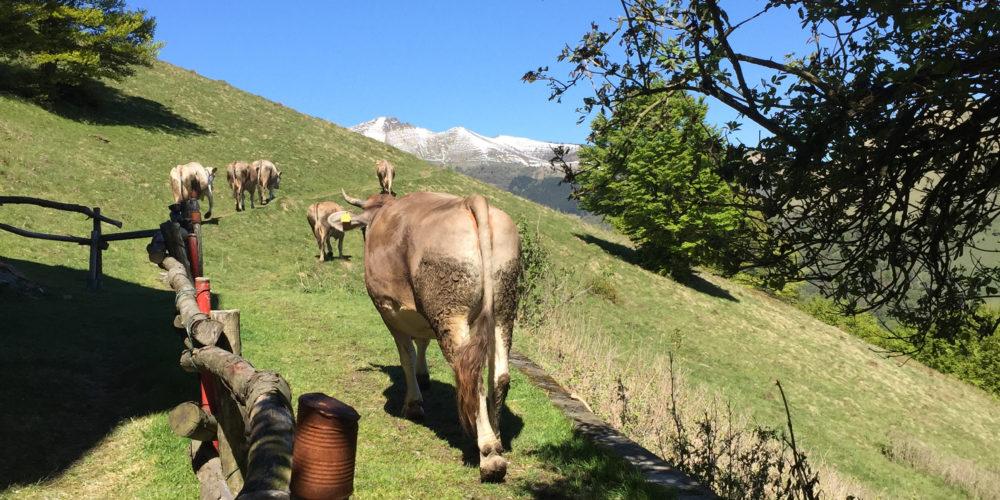 mucche1